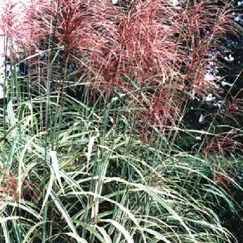 10 red maiden grass miscanthus sinensis plumes ornamental for Ornamental grasses with plumes