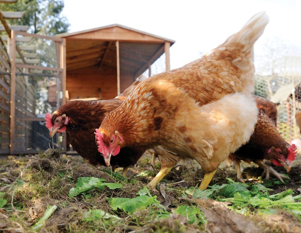 Backyard Chickens Book : Chicken Raising 30 Books CDROM Production Incubating Layers Hens Eggs