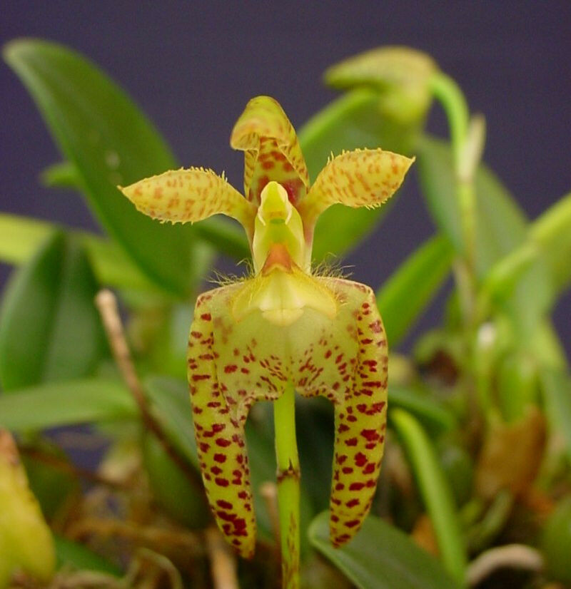 Breeds Of Orchids: Rare Orchid Species (Bloom Size)