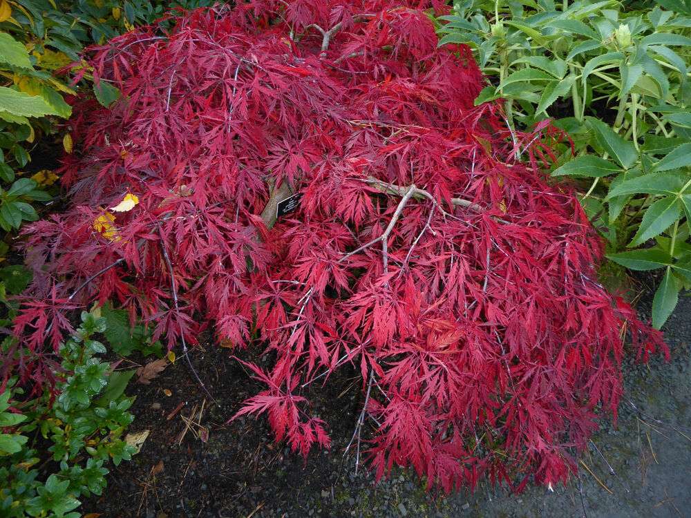 acer palmatum dissectum japanese maple 10 seeds ebay. Black Bedroom Furniture Sets. Home Design Ideas