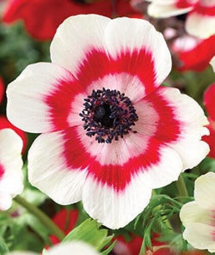 12 x bicolour poppy anemone de caen tubers bulbs ebay. Black Bedroom Furniture Sets. Home Design Ideas