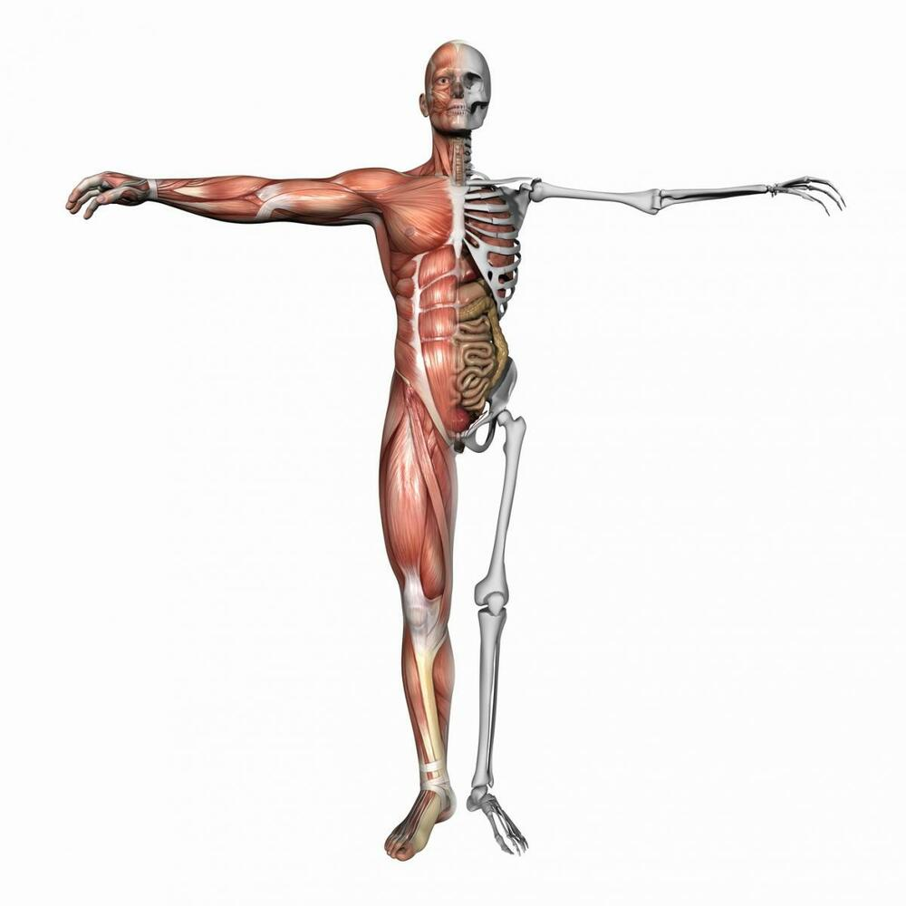 a3 poster – muscle & skeletal layout of the human body, Muscles