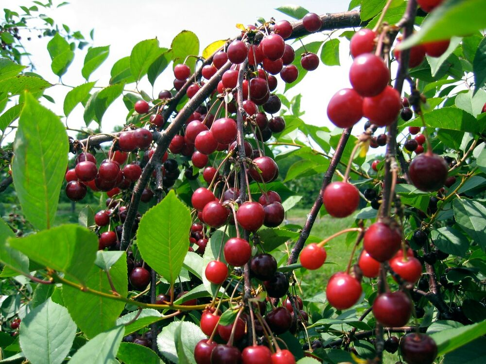 SWEET CHERRY SEEDS * 5 SEEDS * PROLIFIC YIELDING