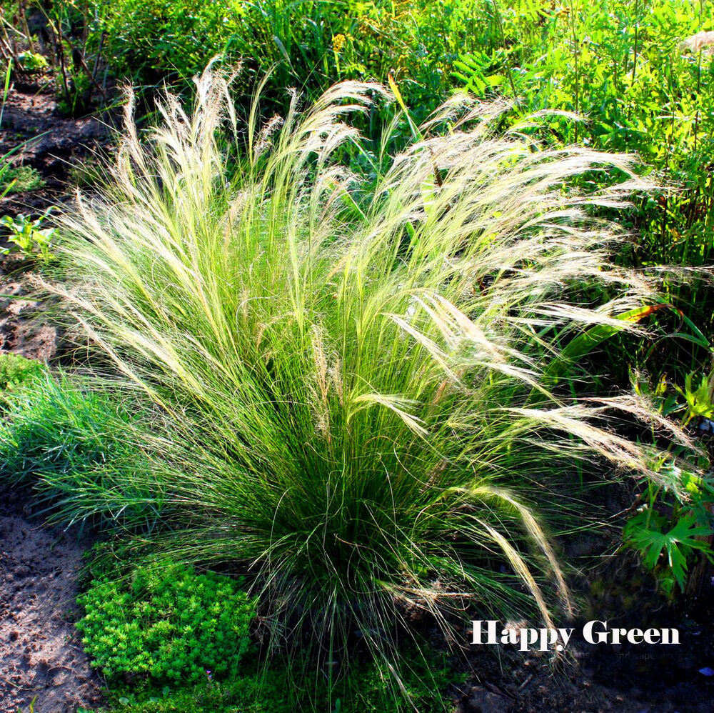 Feather grass 10 seeds stipa pennata perennial for Tall feather grass