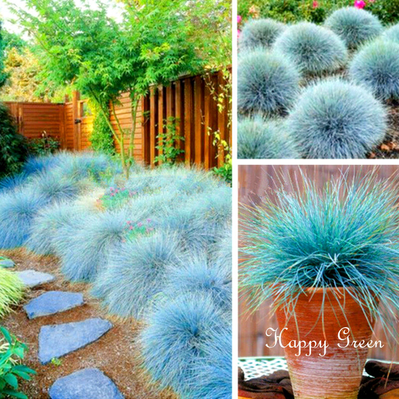 Blue fescue festuca glauca 300 seeds ornamental for Ornamental grass with blue flowers