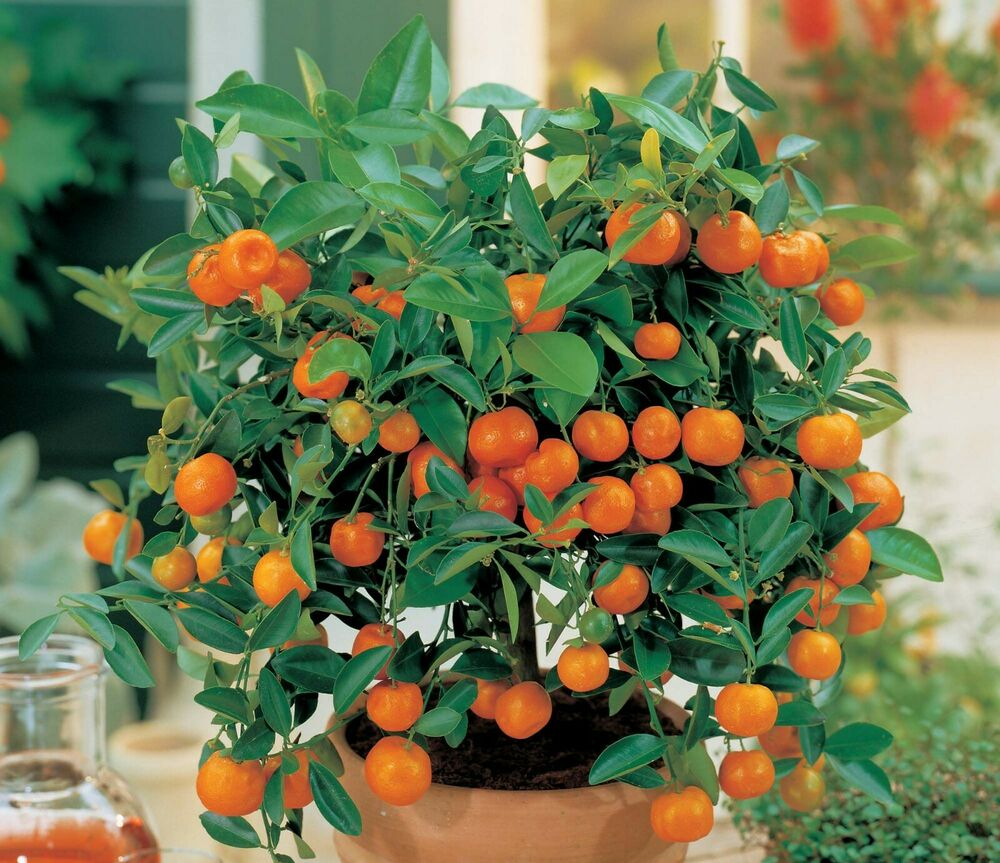 10 edible fruit mandarin bonsai tree seeds  citrus bonsai mandarin orange seeds