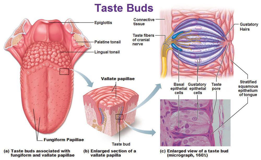 A4 Poster Taste Buds Of The Human Tongue Picture Poster Medical
