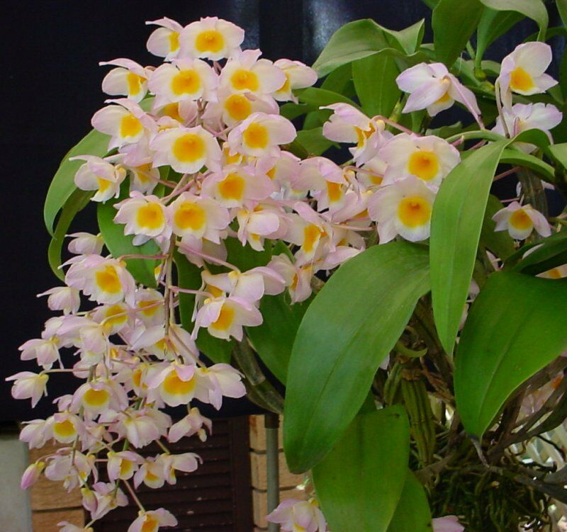 Breeds Of Orchids: Rare Orchid Species Seedling - Dendrobium Farmerii