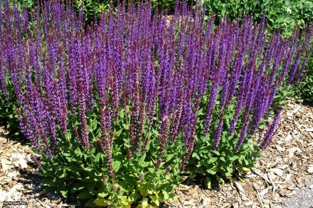 woodland sage salvia nemorosa 200 seeds ebay. Black Bedroom Furniture Sets. Home Design Ideas