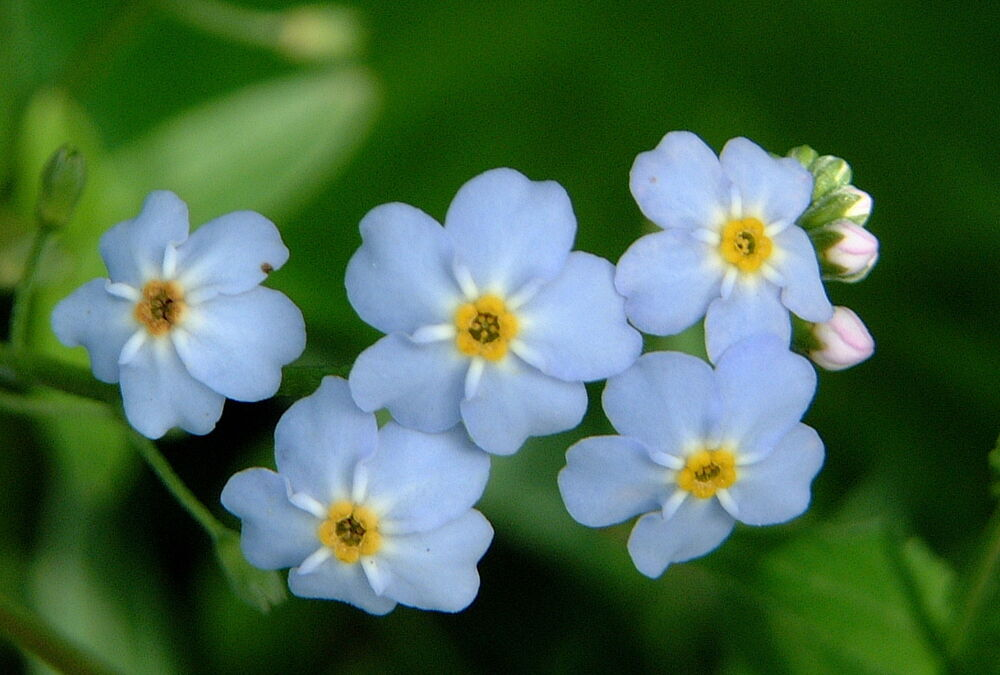 Water forget me not plant aquatic fish pond live plant for Plants that live in a pond