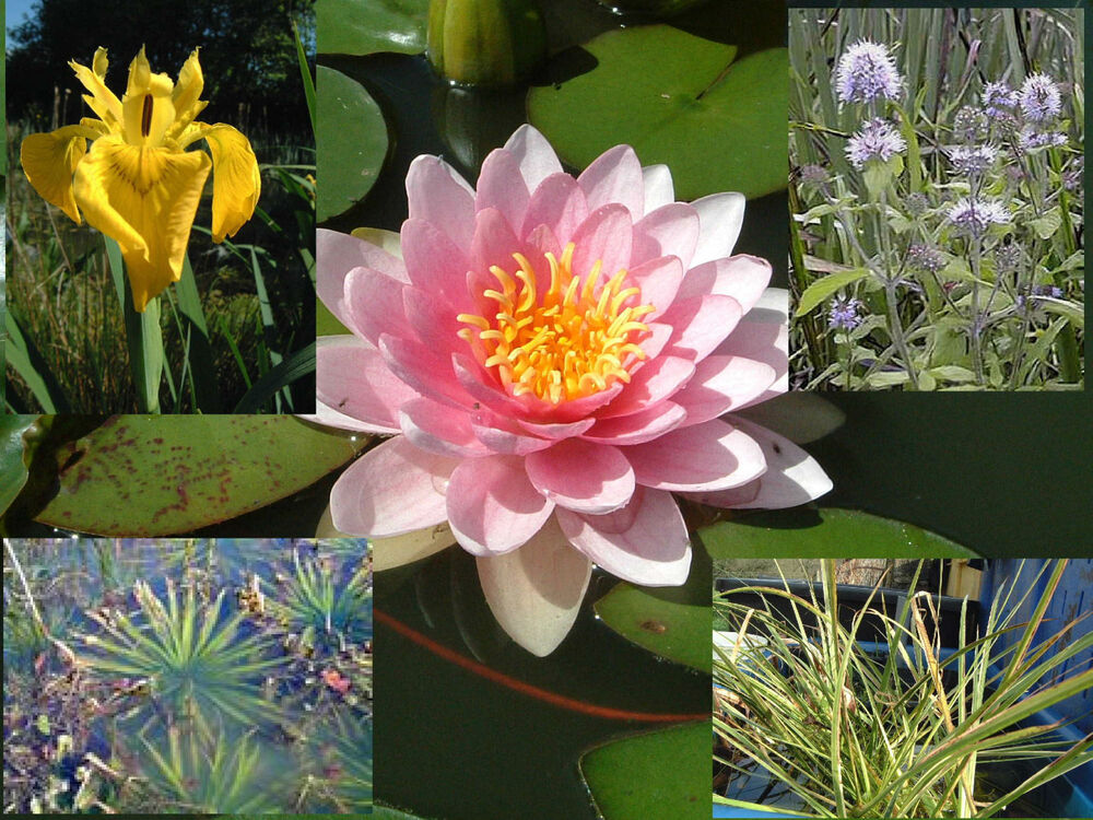 Starter pack pond plants water lily marginal reed rush for Marginal pond plants