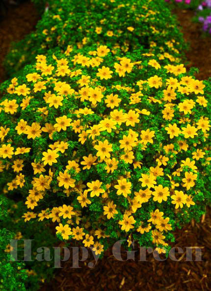bur marigold golden eye 80 seeds bidens aurea. Black Bedroom Furniture Sets. Home Design Ideas