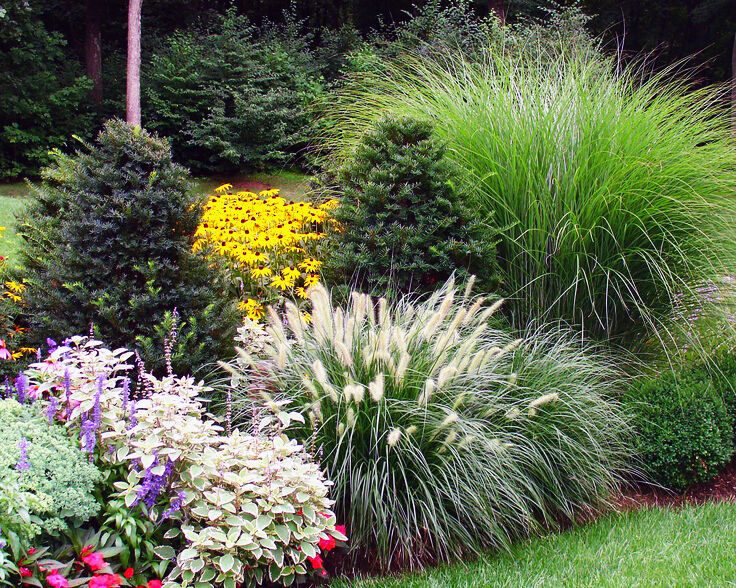 Ornamental grasses mix 3 gram canary panicum foxtail for Different ornamental grasses