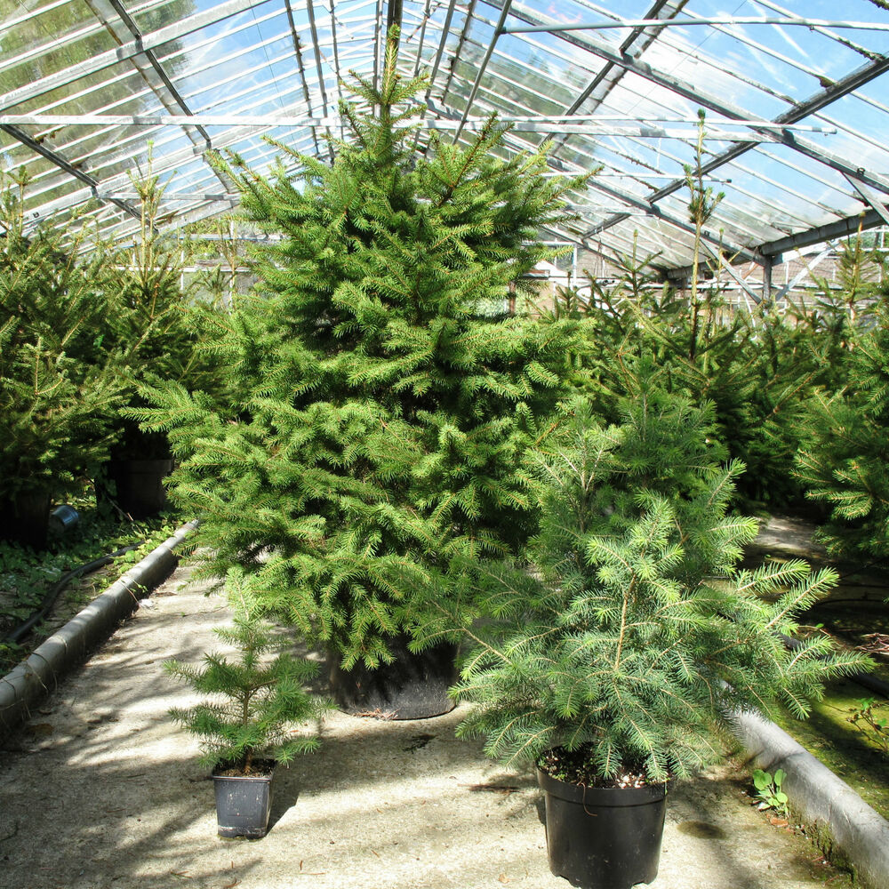 Container Grown Christmas Trees