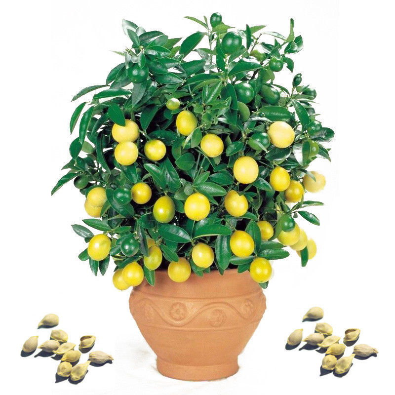 how to grow a lemon tree indoors from seed