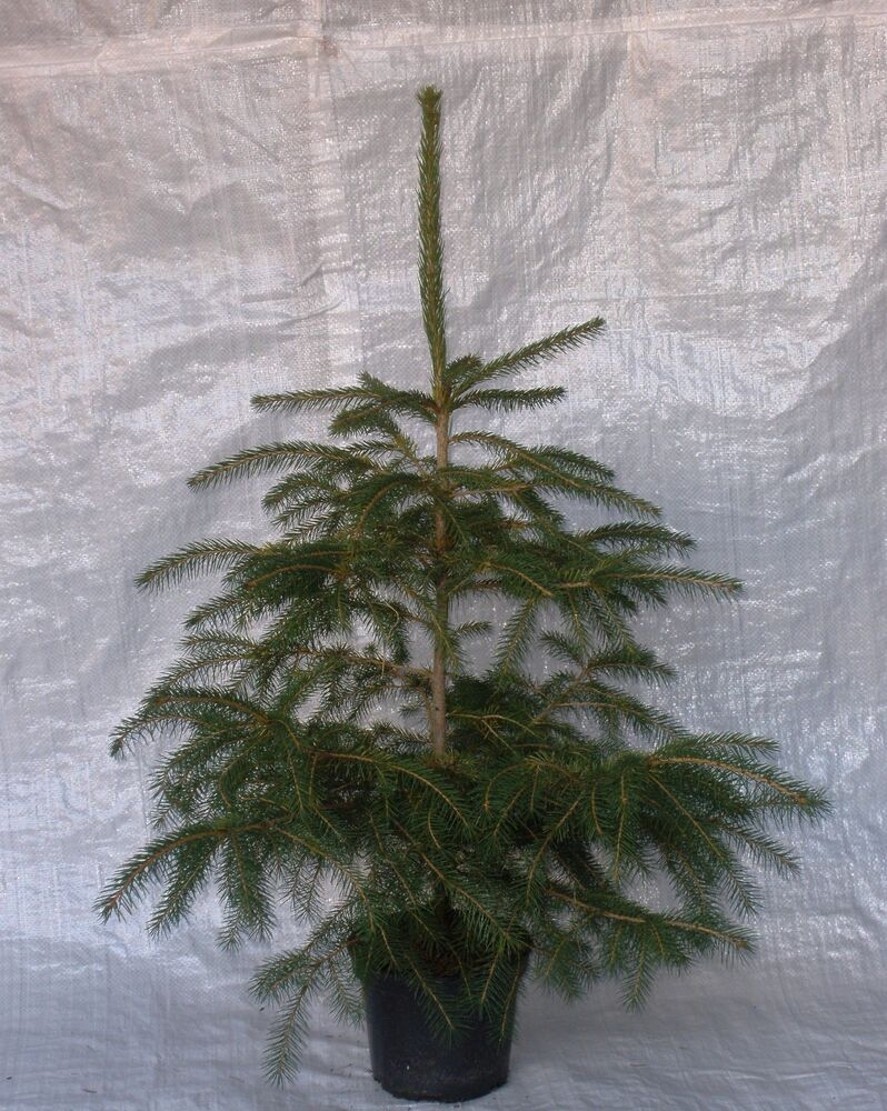 Real Norway Spruce Container Grown Living Christmas