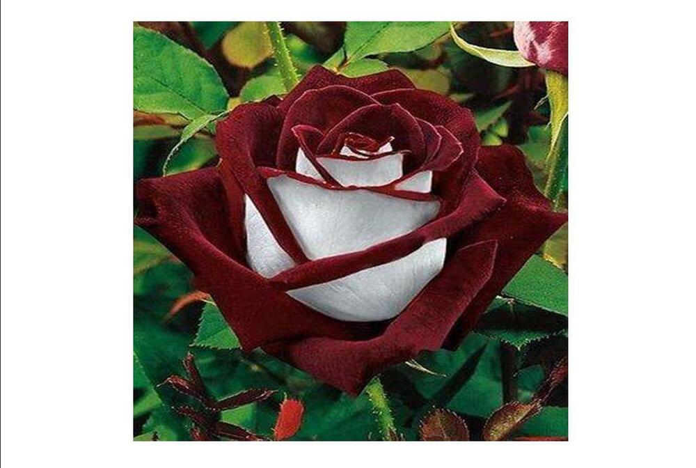 50 Rose Bush Seeds Rare Burgundy And White Tone Plants
