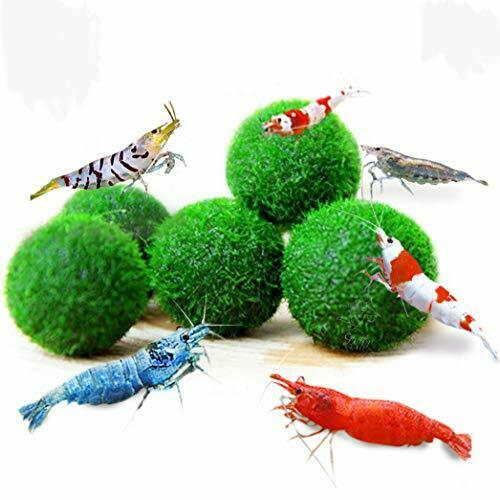 Luffy Marimo Moss Ball 5 1 Free For Kids Beginner Tanks