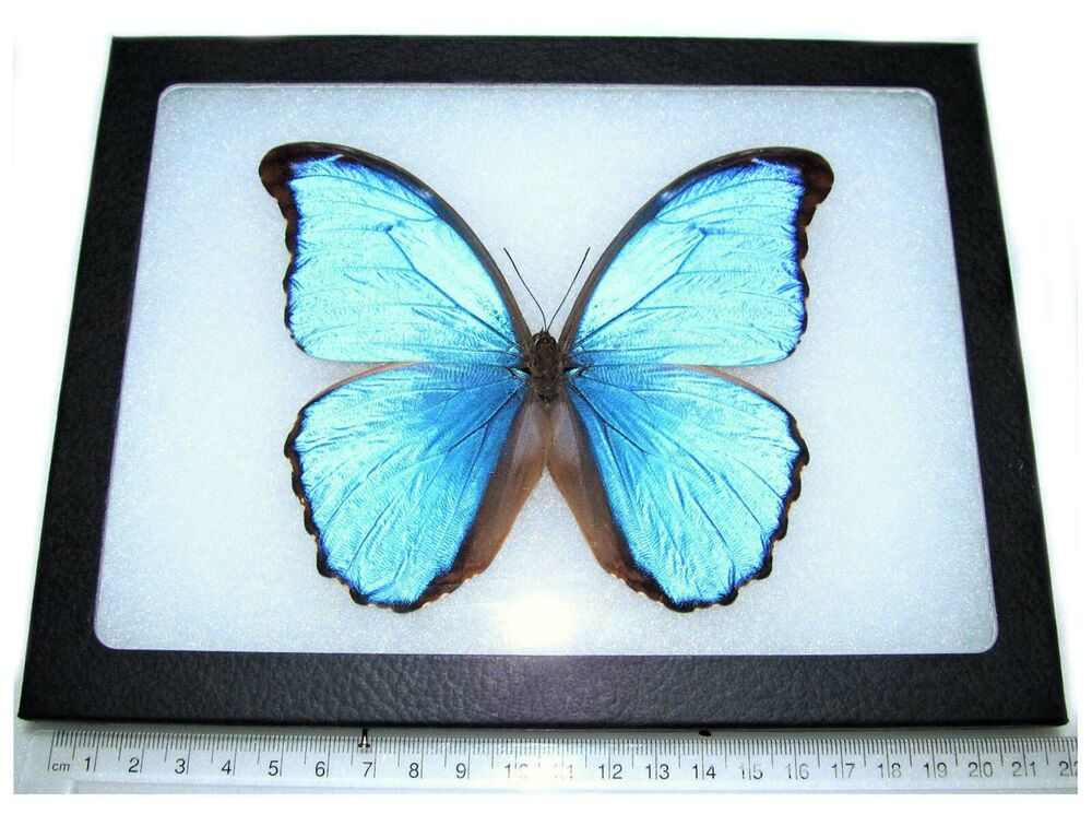 real framed butterfly blue peruvian morpho didius