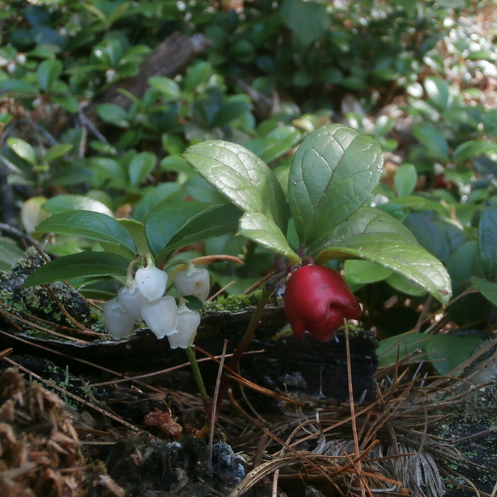 Wintergreen teaberry 30 plants ebay for In a garden 26 trees are planted