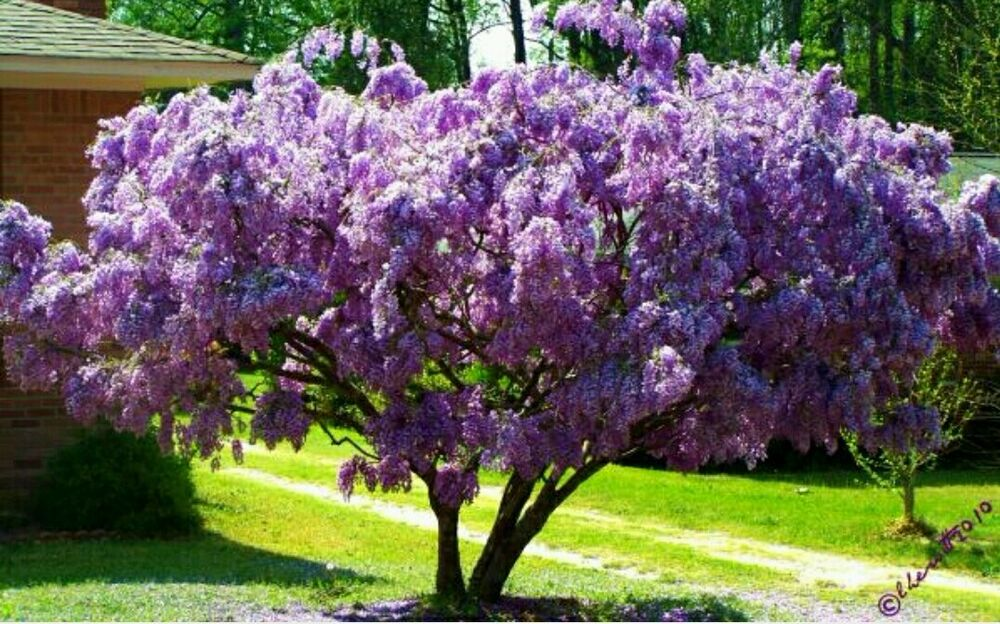 African wisteria (Tree Wisteria) Fresh Seeds perfect as a