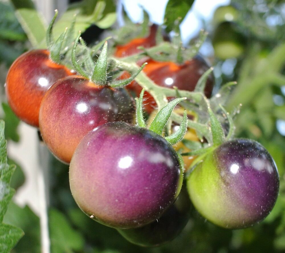 Indigo Blueberry Cherry Tomato - 20 Seeds (Blue berry ...