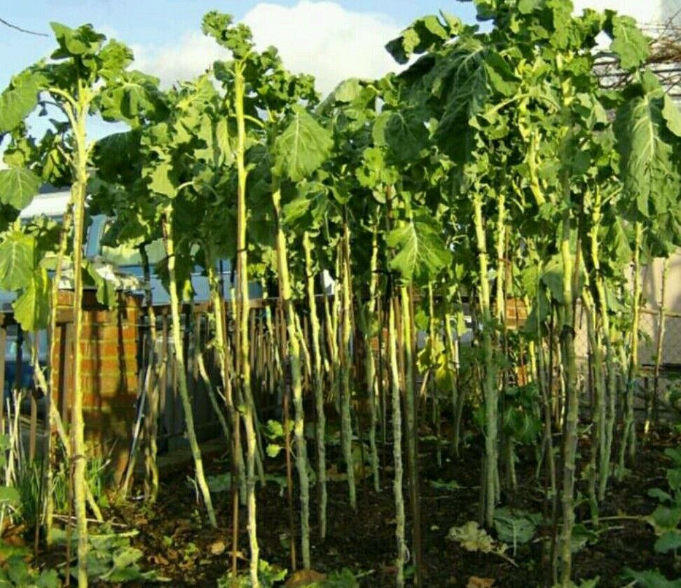 portuguese walking stick cabbage kale tree great for kids edible seeds rare ebay. Black Bedroom Furniture Sets. Home Design Ideas