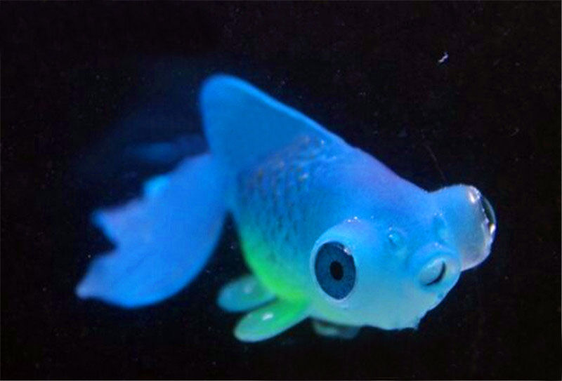 Cute synthetic goldfish aquarium artificial glowing effect for Cute fish tanks