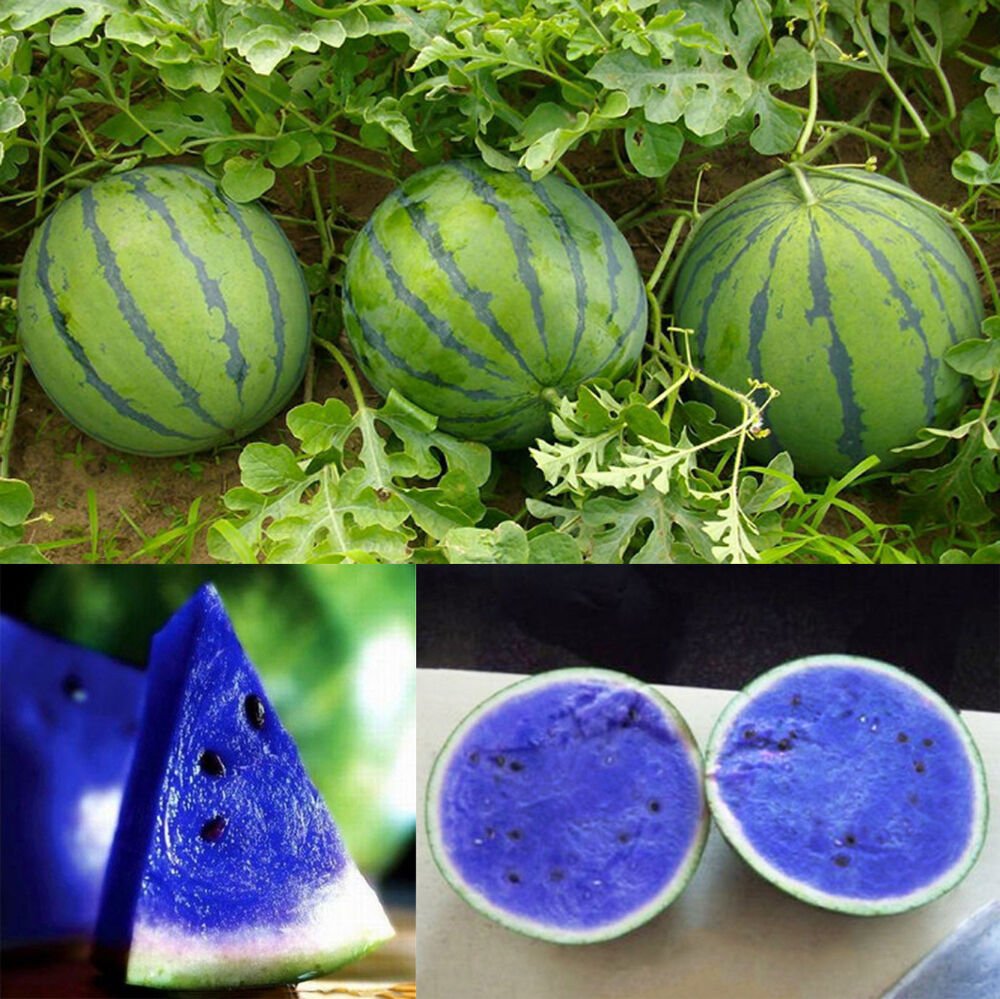 10pcs Blue Watermelon Seeds Fruit Organic Vegetable Home ...