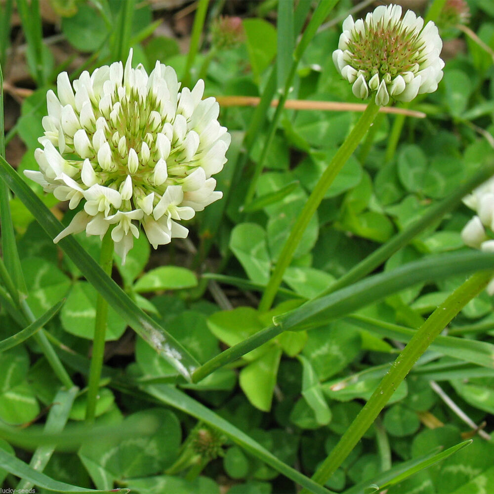 White Clover Seed - Shelmerdine Garden Center |White Clover Plant