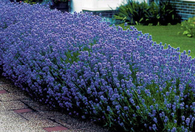 lavender hidcote 6 jumbo plug plants ebay. Black Bedroom Furniture Sets. Home Design Ideas