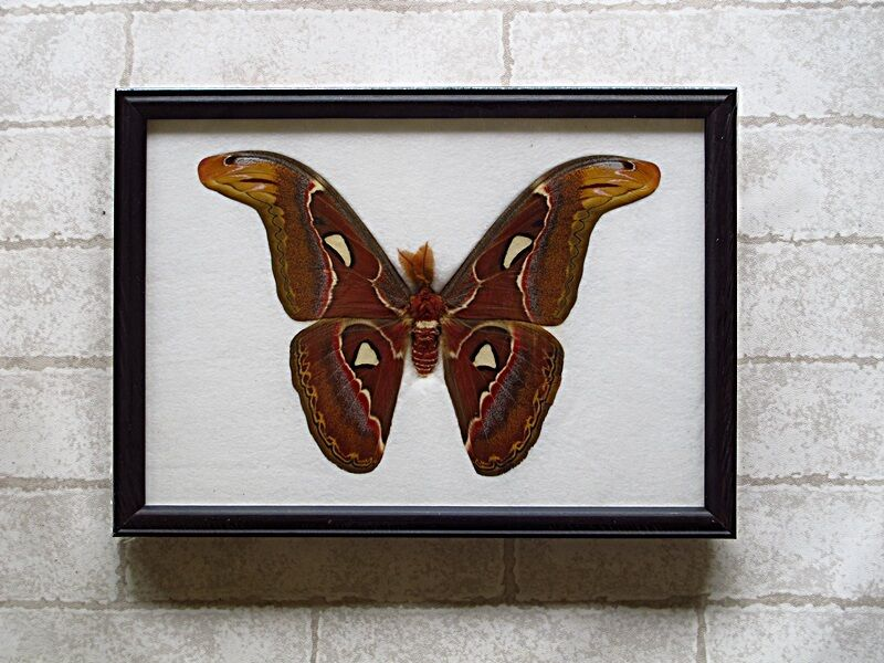 Real Big Attacus Atlas Moth M Butterfly Taxidermy Framed
