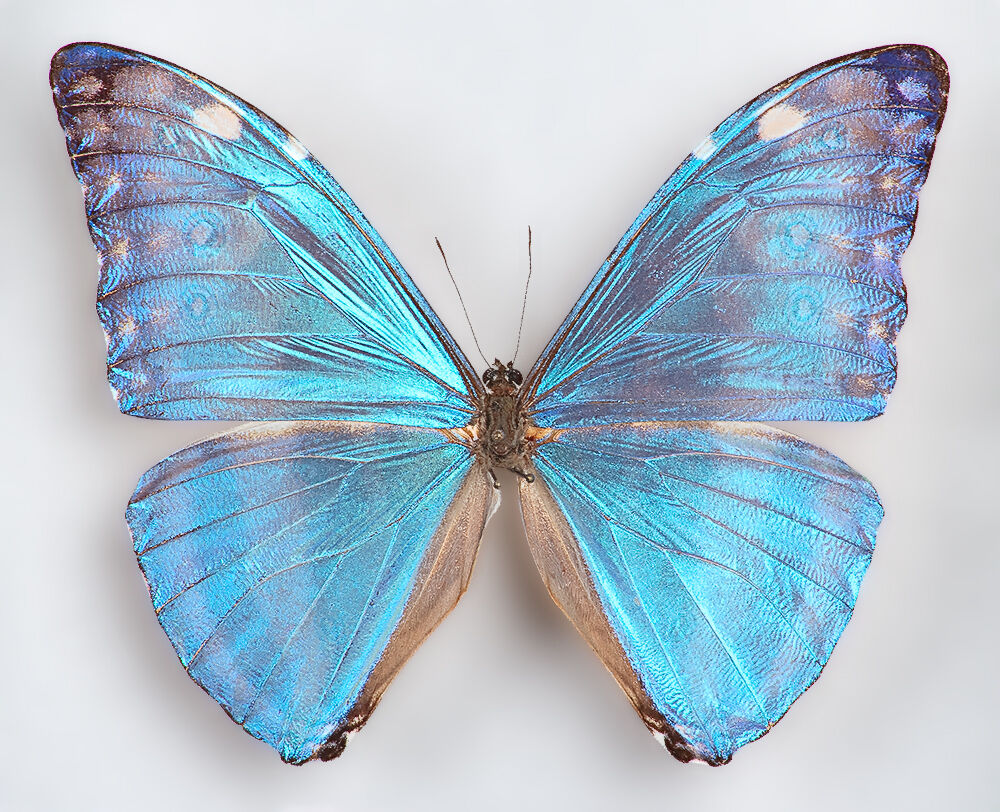 ONE REAL BUTTERFLY BLUE MORPHO MARCUS ADONIS WINGS CLOSED ...