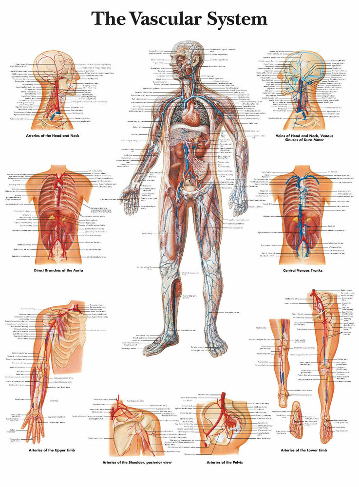 A3 Medical Poster - The Human Vascular System (Text Book Anatomy ...