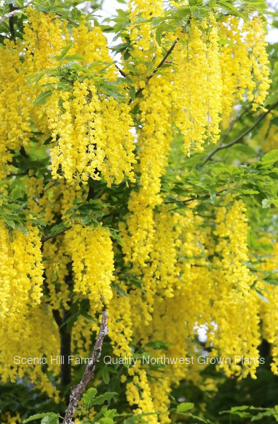 Golden Chain Tree Laburnum Anagyroides Live Potted Tree 24