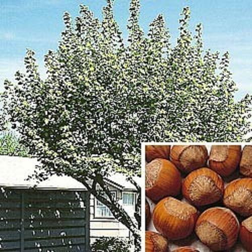 3 X Fruit TREES Hazelnut Tree Plum Tree Apple Tree Ideal