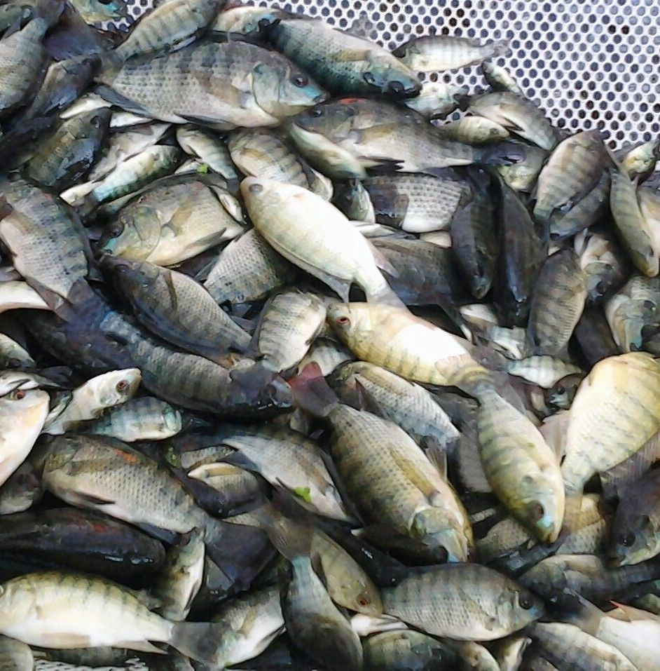 12 lot 3 4 tilapia fingerlings live blue tilapia fish for Tilapia not real fish