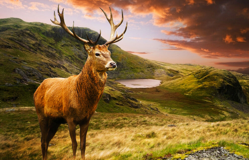 Framed Print Highland Stag In The Scottish Mountains