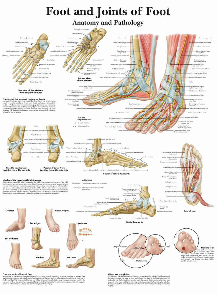 A3 Medical Poster The Human Foot Joint Text Book Anatomy