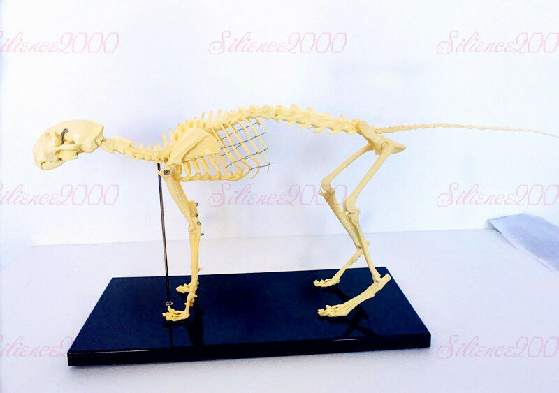 Veterinary Anatomy Cat Skull Feline Skeleton Teaching Model With