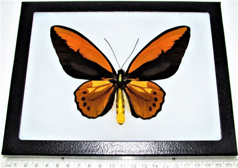 www.833v.com_REAL FRAMED BUTTERFLY ORANGE COPPER ORNITHOPTERA CROESUS BIRDWING INDONESIA | eBay
