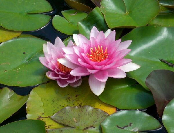 special petit bassin nenuphar nain rose pink  plante nymphea pond 30/50cm