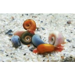 Kyпить 8+Pink/Red/Blu leopard/Mix color Ramshorn Snails With 2 TYPE Free Floating Plant на еВаy.соm
