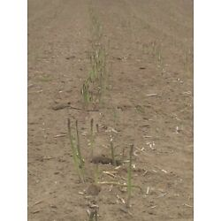 Kyпить 30 Jersey Giant  Asparagus Roots  Best Green Spear Quality 1 Yr Crowns на еВаy.соm