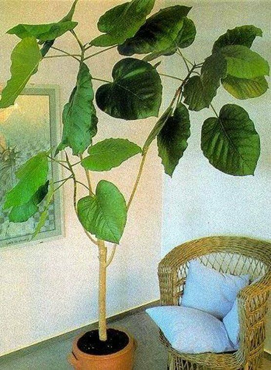 ficus auriculata ein zimmerbaum f r dunkle r ume mit. Black Bedroom Furniture Sets. Home Design Ideas