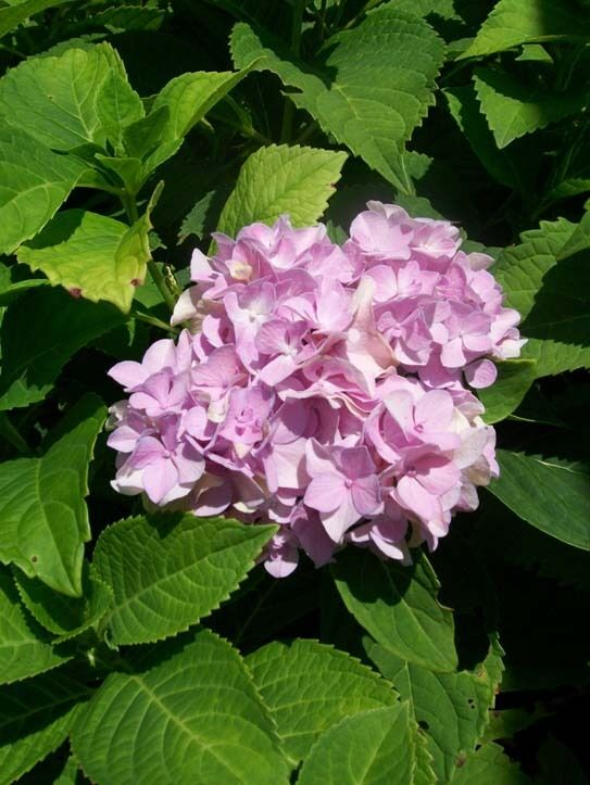 Nikko blue hydrangea 3 gal plant large multiple flowers for Small easy to grow plants