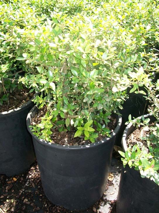 Dwarf yaupon holly big healthy 3 gal plant large easy to for Easy to care for landscaping plants