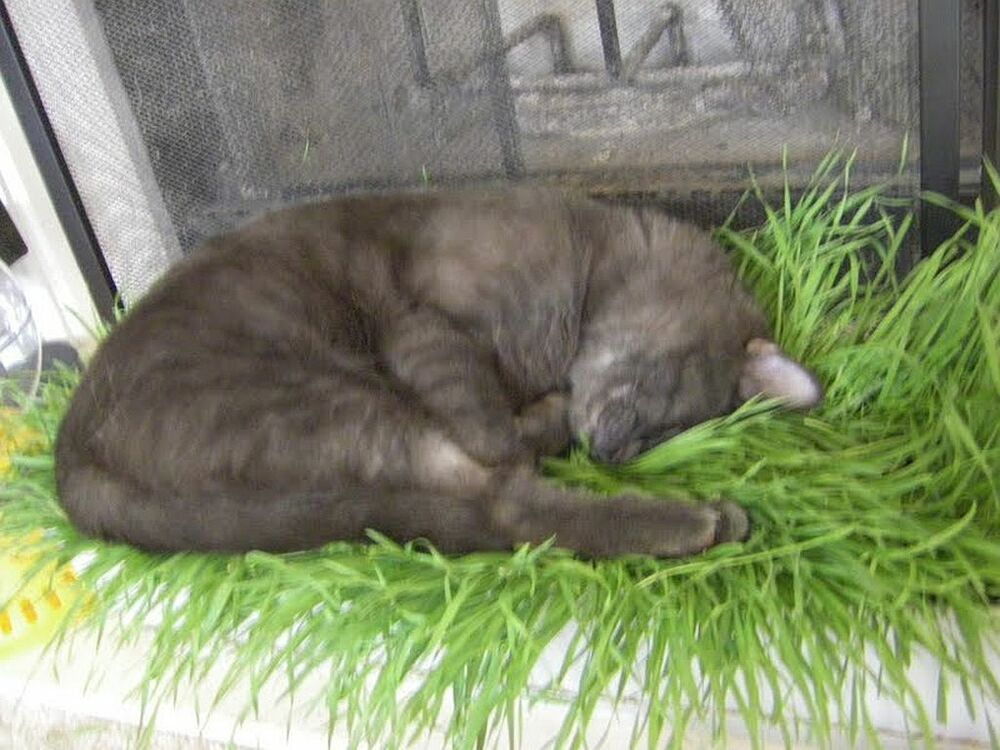 how to grow oat grass