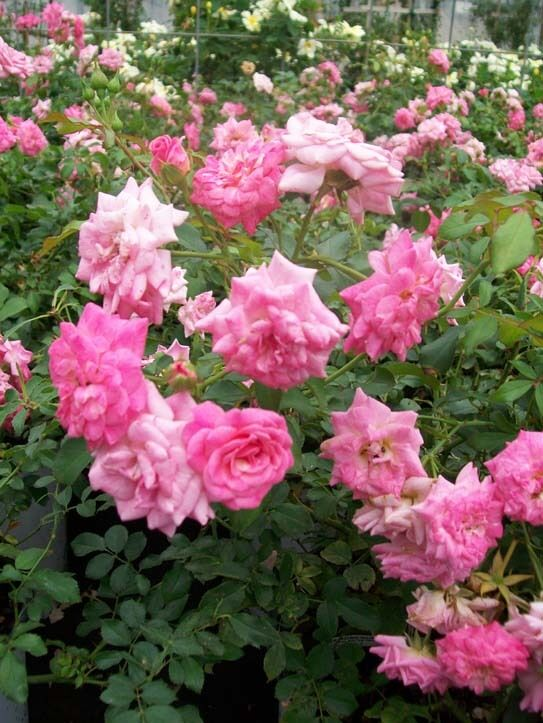 Sweet Drift 174 Pp 21 612 Pink Roses 1 Gal Ground Cover