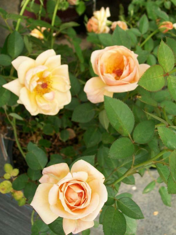 Southern Peach Apricot Yellow Rose 1 Gal Live Bush Plants